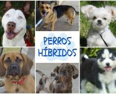 PERROS-HIBRIDOS-TM