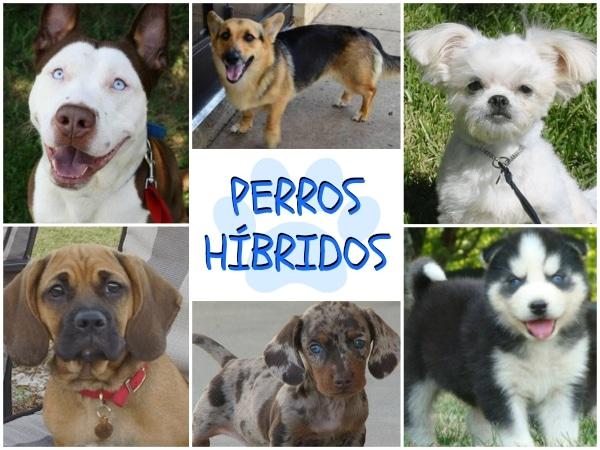 Husky Frases: Perros Híbridos: Las Cruzas De Perros Más Extrañas