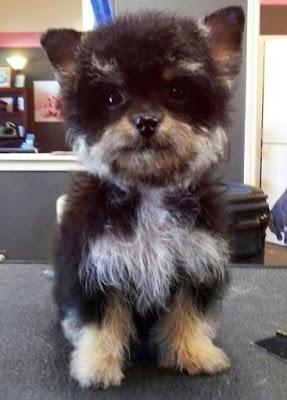 yorkshire-terrier-caniche