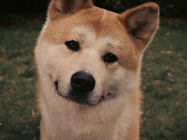 Perro de la raza Akita