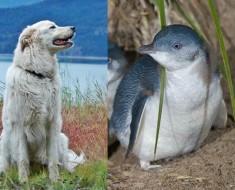 pinguinos-perros-pastor-australia