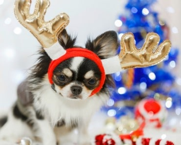 Chihuahua dog with Christmas decoration set.