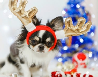 Chihuahua dog with Christmas decoration set.