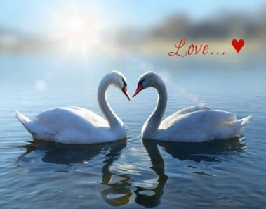romantic two swans,  symbol of love