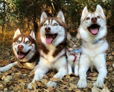 huskies-y-gato-portada