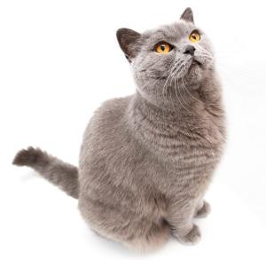 Ruso azul gatos