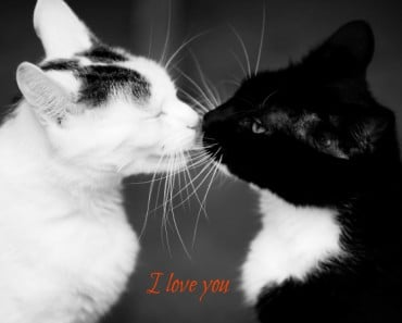 Black and white cats appear to be kissing.