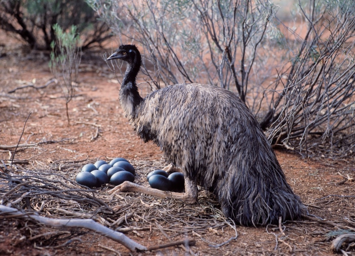 Emu macho
