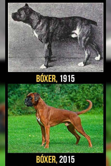 Boxer cambios