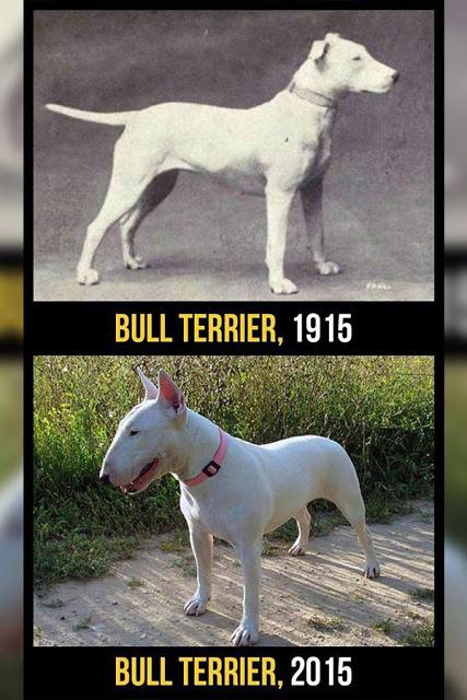 Bul terrier cambios