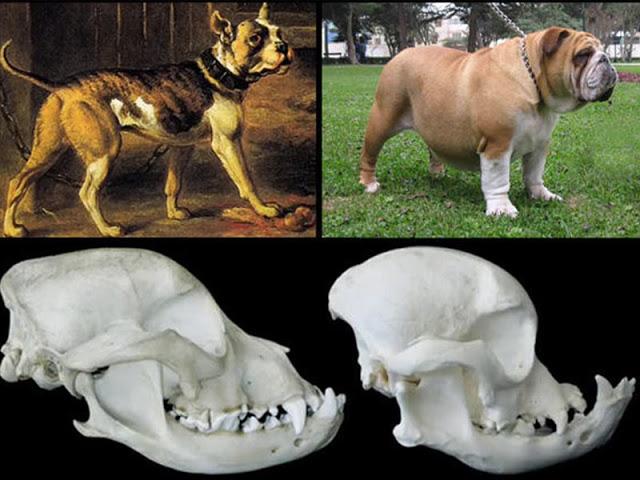 Bulldog cambios