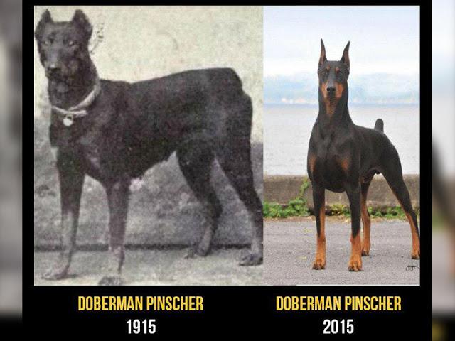 Doberman cambios