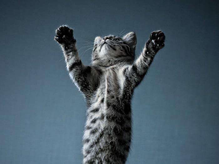 gestos y comportamientos de los gatos