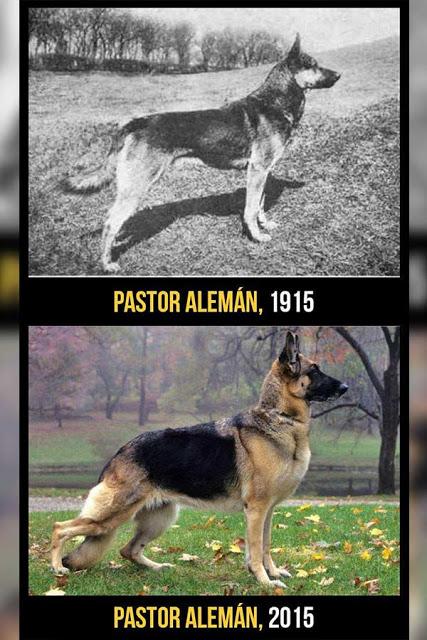 Pastor Alemán cambios