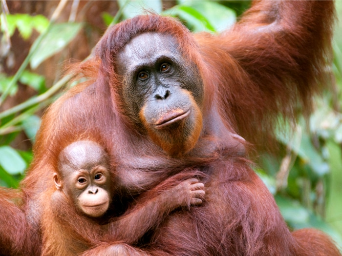 Mamá orangután