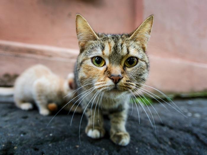 ¿Por qué es importante esterilizar o castrar a tu gato?