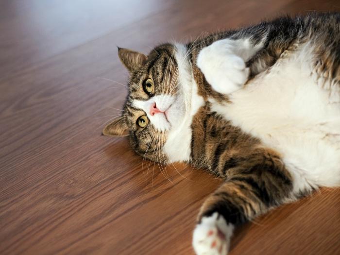 Gato obeso cariñoso
