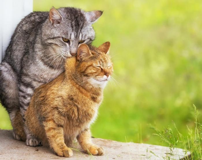 Esterilizar o castrar gatos