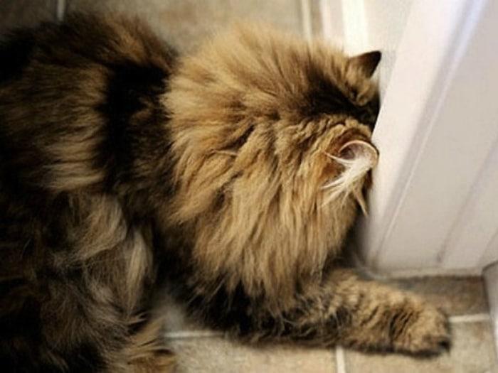 Gato presionando cabeza