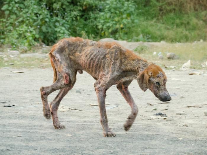 Cómo curar la sarna en perros, caso grave de sarma