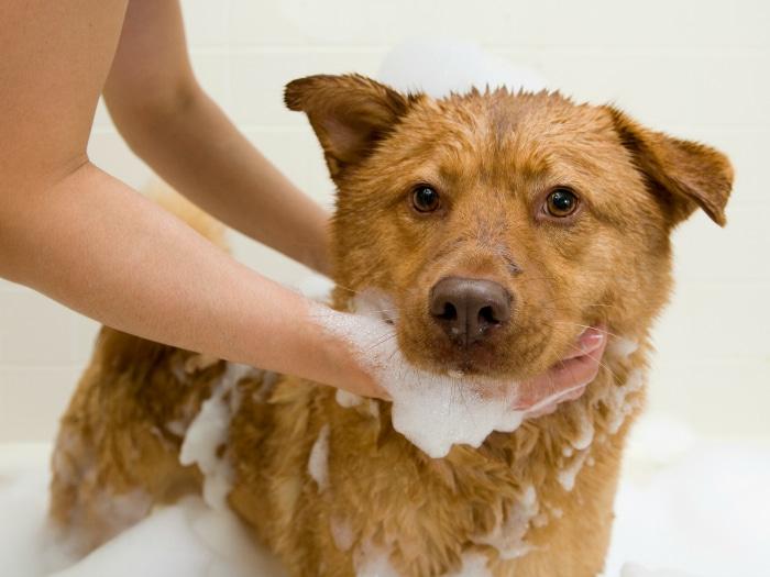 Lavar perro garrapatas pulgas