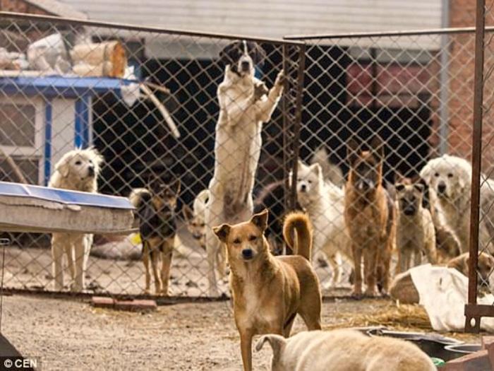Chino millonario salva perros