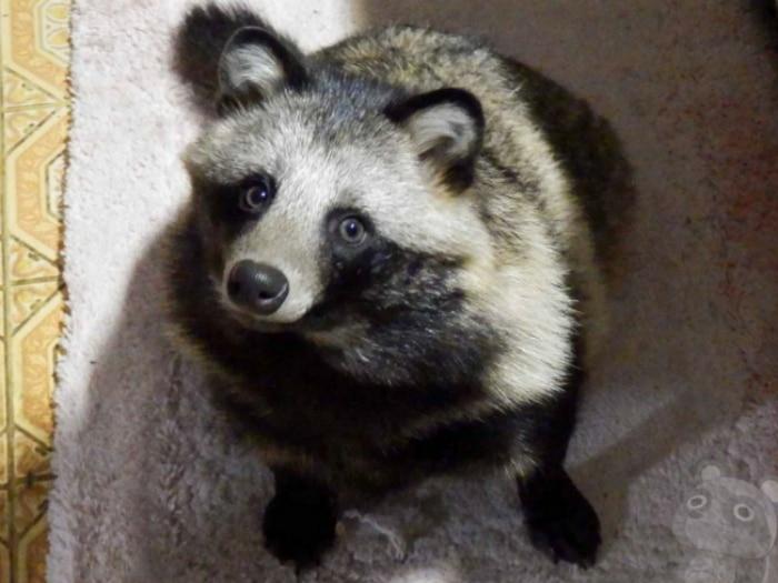 Tanu perro mapache