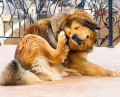 Eliminar pulgas y garrapatas perros