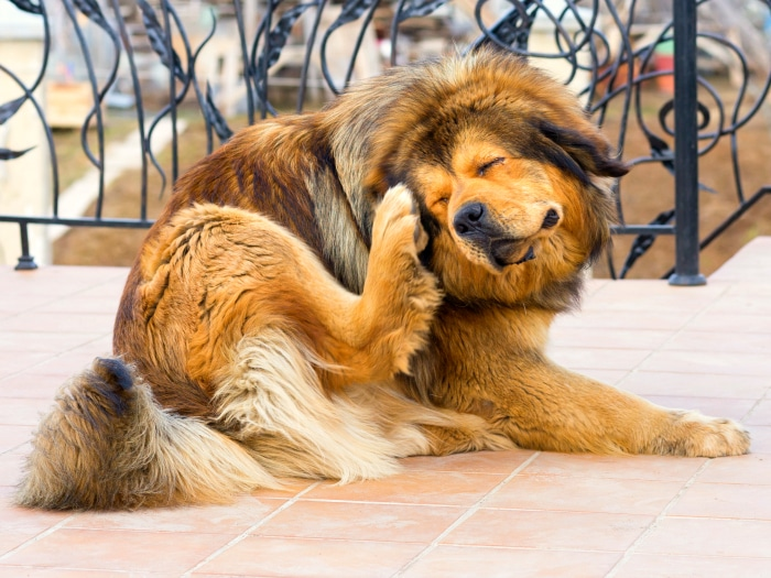 Pasos para acabar con las pulgas de tu perro de una vez - Como quitar pulgas en casa ...