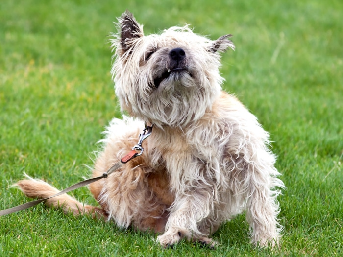 Pasos para acabar con las pulgas de tu perro de una vez - Como eliminar las pulgas de casa remedio casero ...
