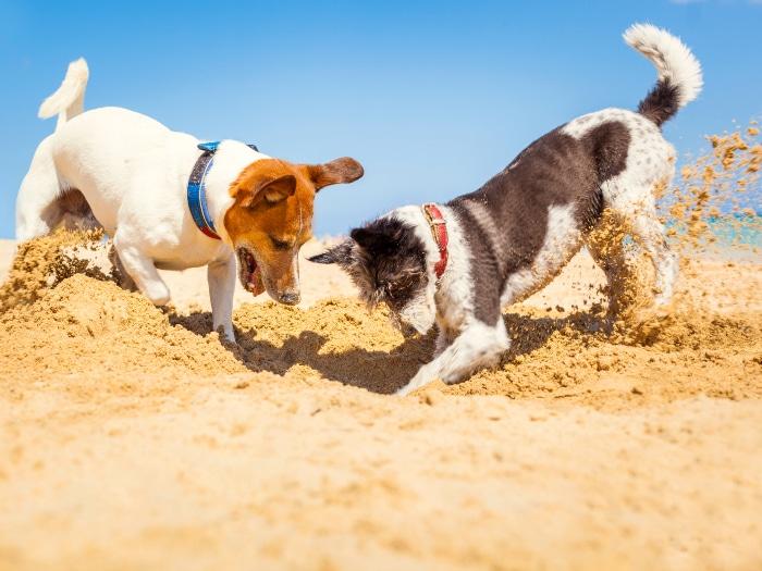 Cómo curar la sarna en perros, contagio