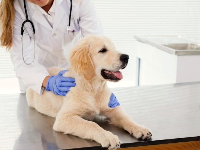 Cómo curar la sarna en perros, llevarlo al veterinario