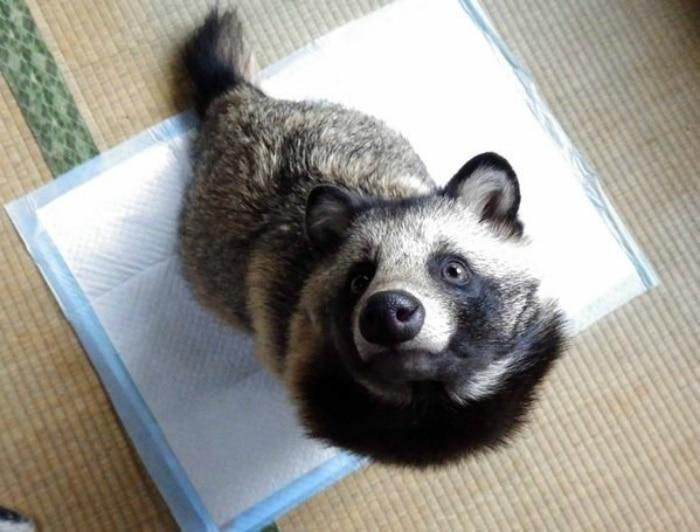 Perro mapache Tanu