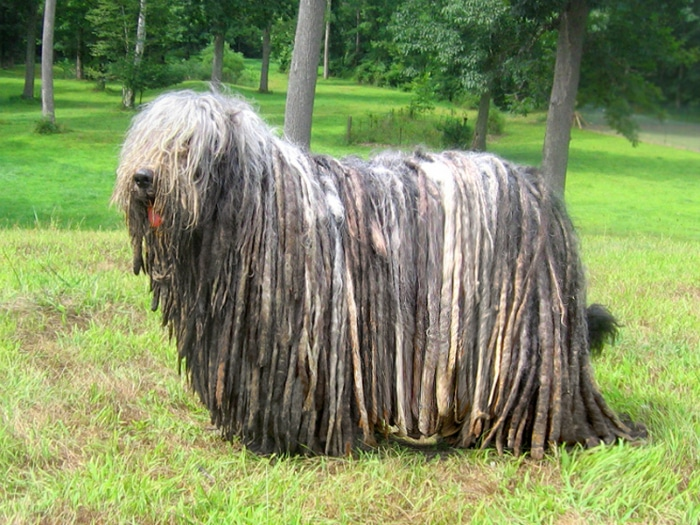 Bergamasco raza perro rara
