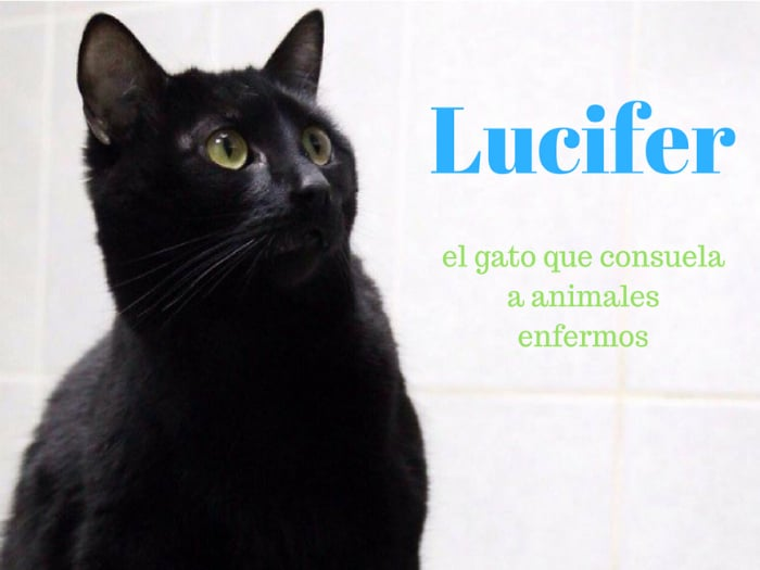 Lucifer el gato que cuida de animales enfermos