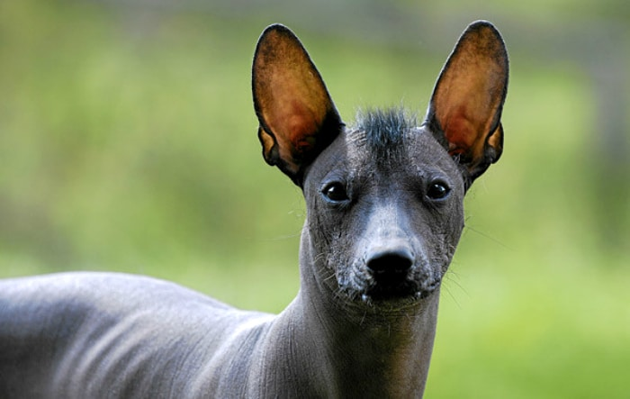 xoloitzcuintle perro raza rara