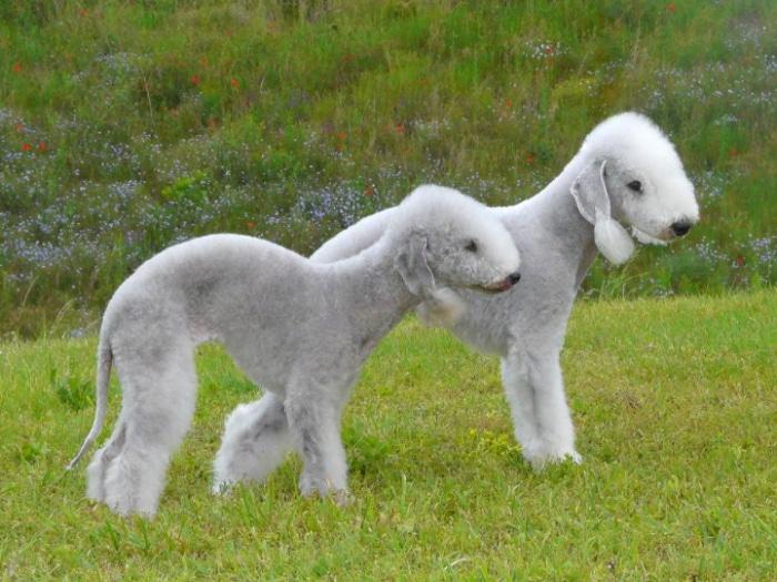 Bedlington Terrier raza extraña perro