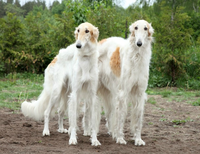 Borzoi razas perro raras