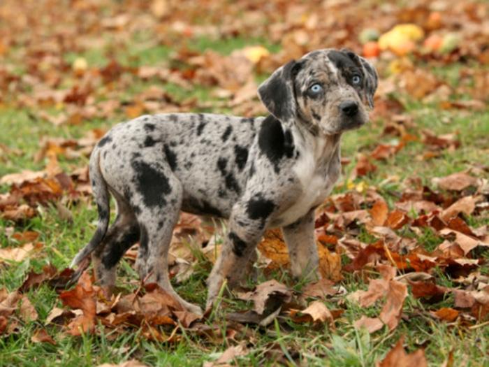 Perro Leopardo raza rara de perro