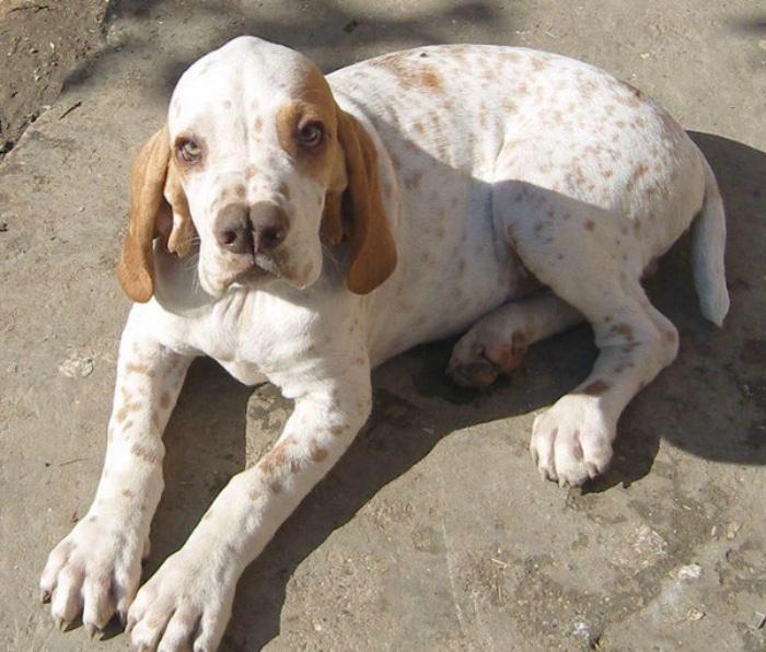 Catalburun razas raras de perros