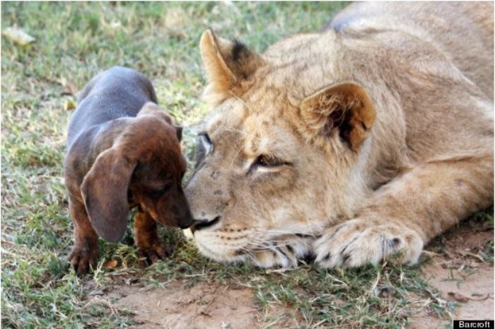 León y  perro salchicha cachorros