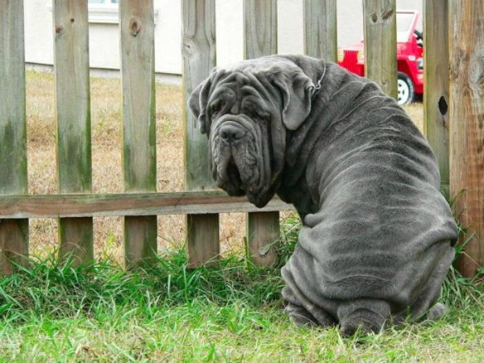 Mastín Napolitano razas raras de perro