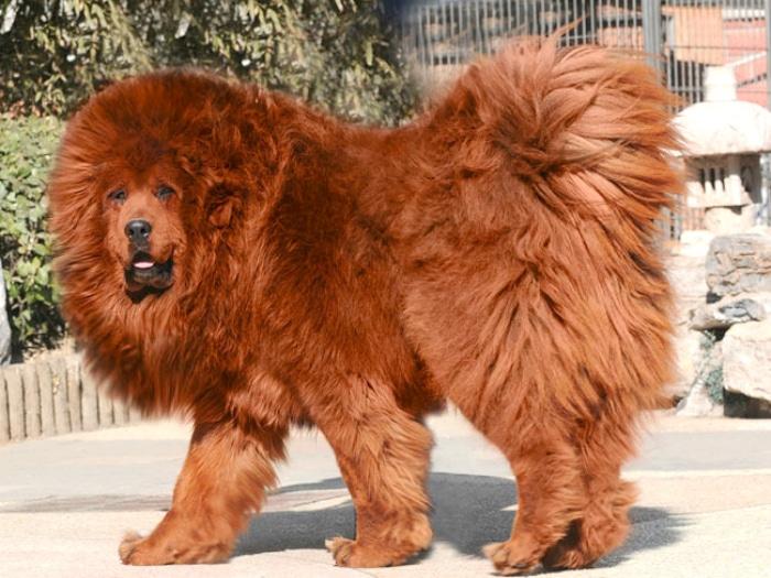 Mastín tibetano razas raras de perro