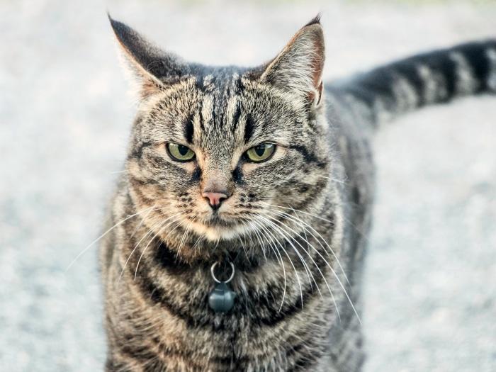 Mitos falsos gatos mover cola