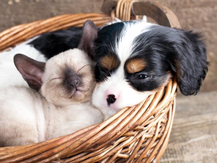 Mitos falsos gatos y perros jamás se llevarán bien