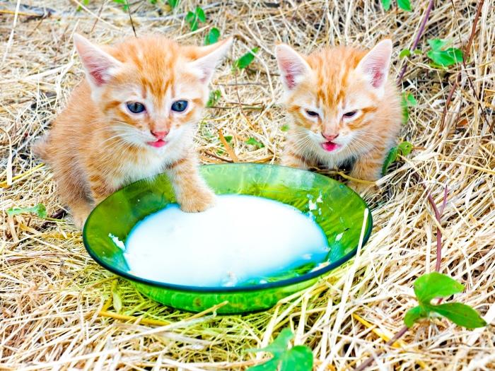 Mitos falsos gatos leche de vaca