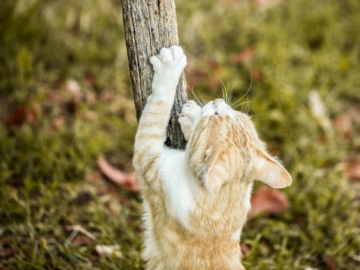 Mitos falsos gatos afilarse uñas