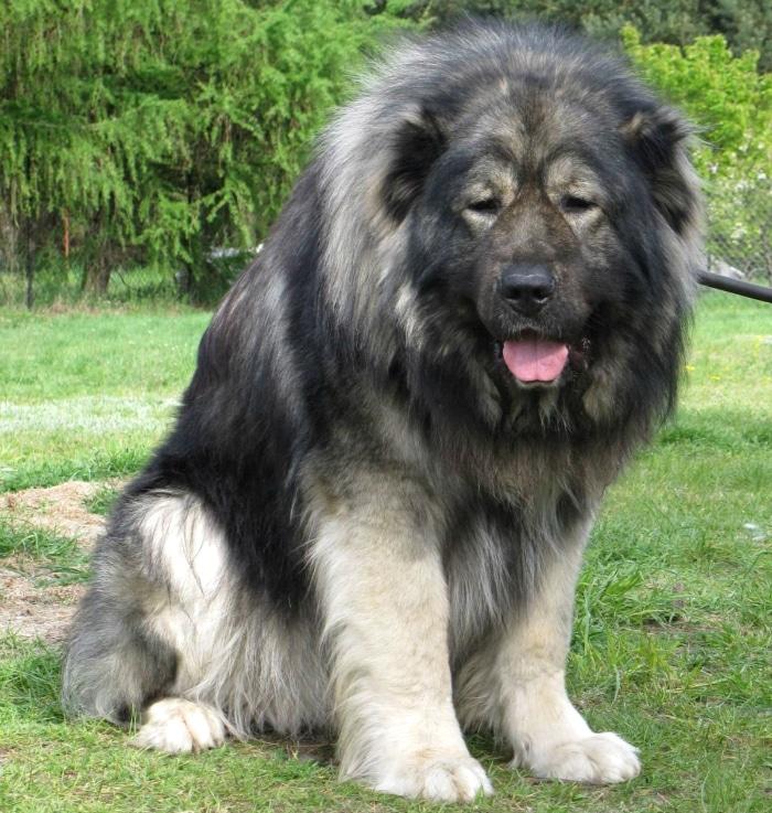 Pastor caucásico perro razas raras
