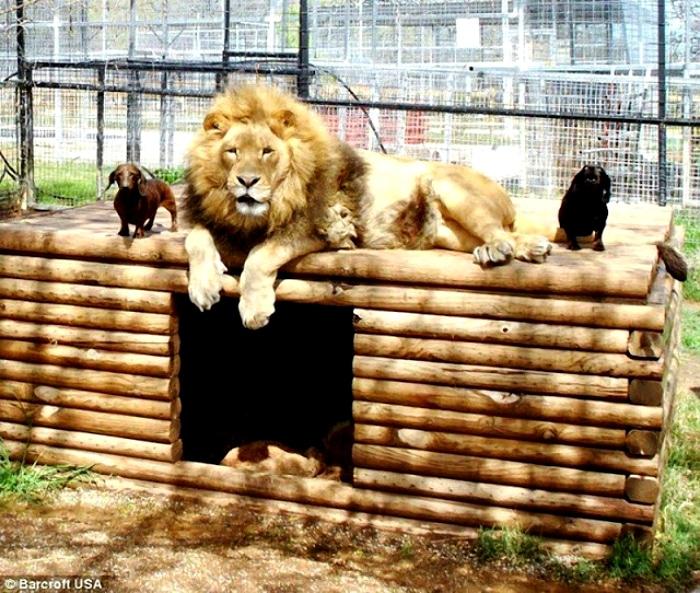 Perro salchicha y león amistad