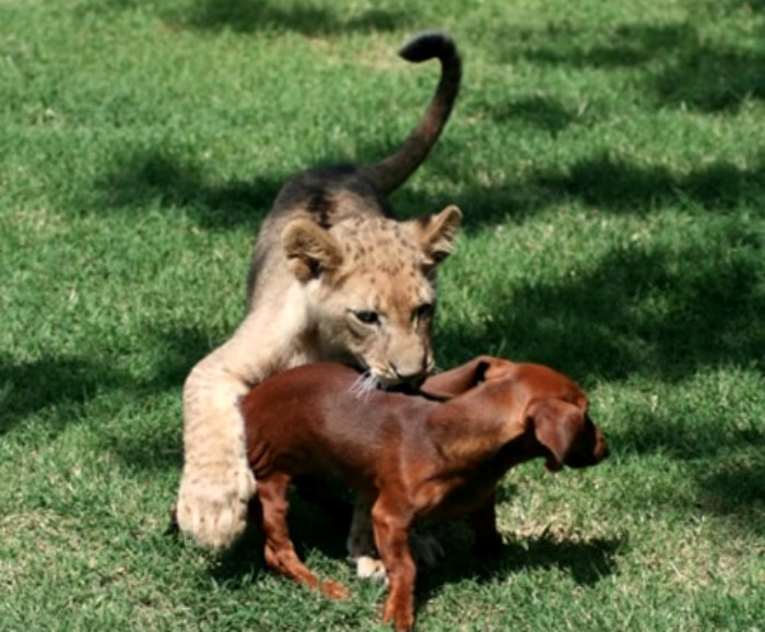 León y perro salchicha amigos cachorros